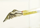 Photo of a female ruby-throated hummingbird at a feeder